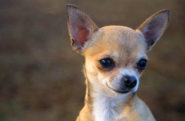 Le 5 Razze Di Cani Più Piccoli Al Mondo